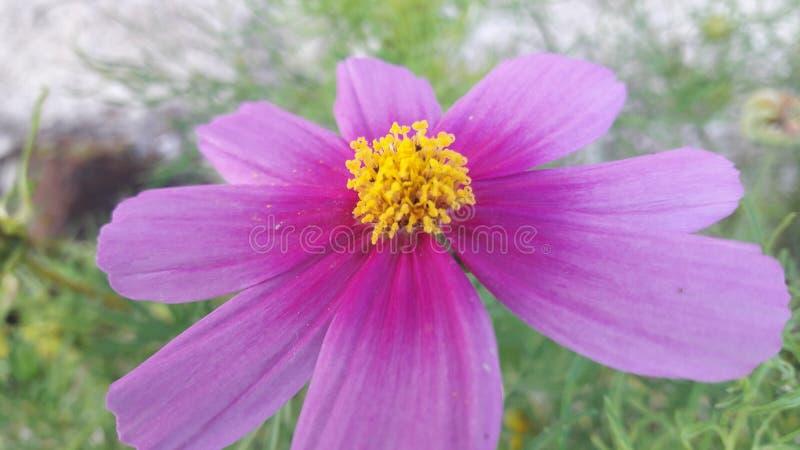 Mooie bloemen met acht bloemblaadjes medio geel stock foto