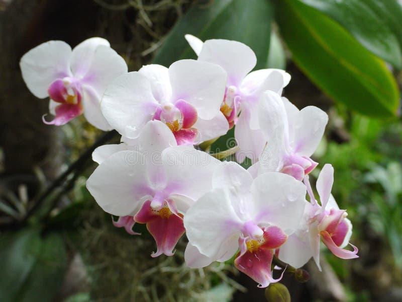 Mooie bloemen met gevoelige witte bloemblaadjes en kleine roze bloemen rond de stamper Het kijkt zeer vers en origineel royalty-vrije stock foto