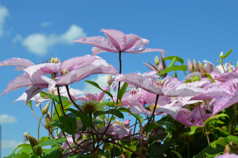 Mooie bloemen tuinclematissen het tot bloei komen stock foto