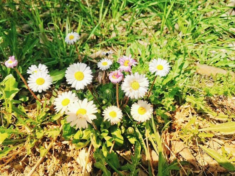 Mooie bloemen van de kamille in de vroege lente, witte en roze kamille in de ochtendzon stock foto's