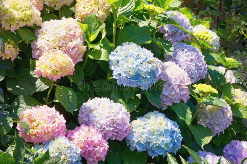Mooie bloemen van Hydrangea hortensia in de tuin op zonnige dag royalty-vrije stock foto