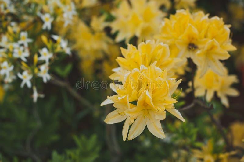 Mooie bloemen van Japanse rododendron gele 1544 stock afbeeldingen