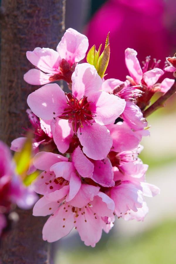 Mooie bloemen van perzikbomen in het vroege voorjaar stock foto's