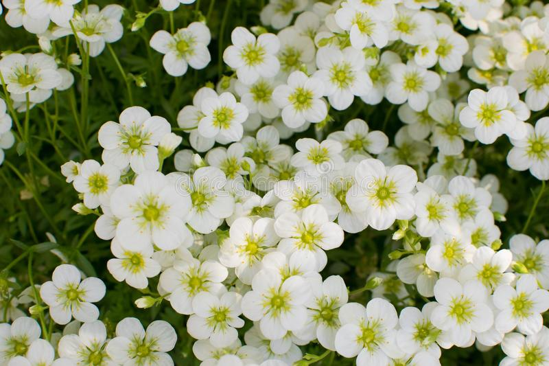 Mooie Bloemen van Saxifraga Paniculata royalty-vrije stock afbeelding