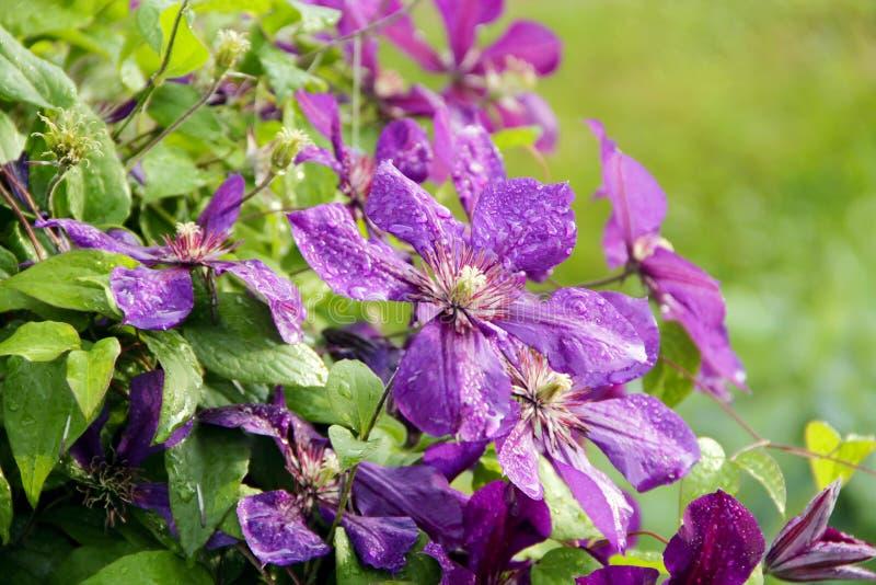 Mooie bloemen van tot bloei komende violette clematissen met druppeltjes van regen stock fotografie