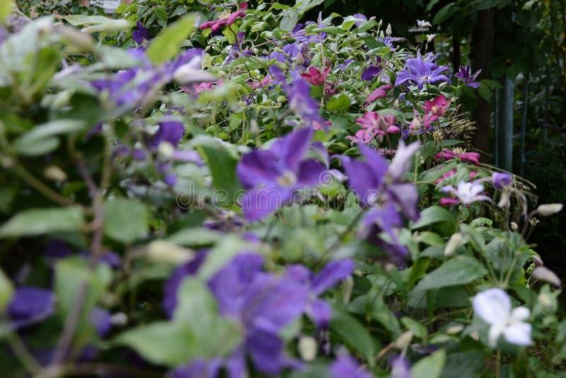 Mooie bloemen van tot bloei komende violette clematissen met druppeltjes van regen, Grote struik van clematissen die in tuin groe stock fotografie