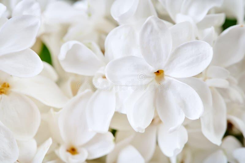 Mooie bloemen van witte lilac dichte omhooggaand royalty-vrije stock foto's
