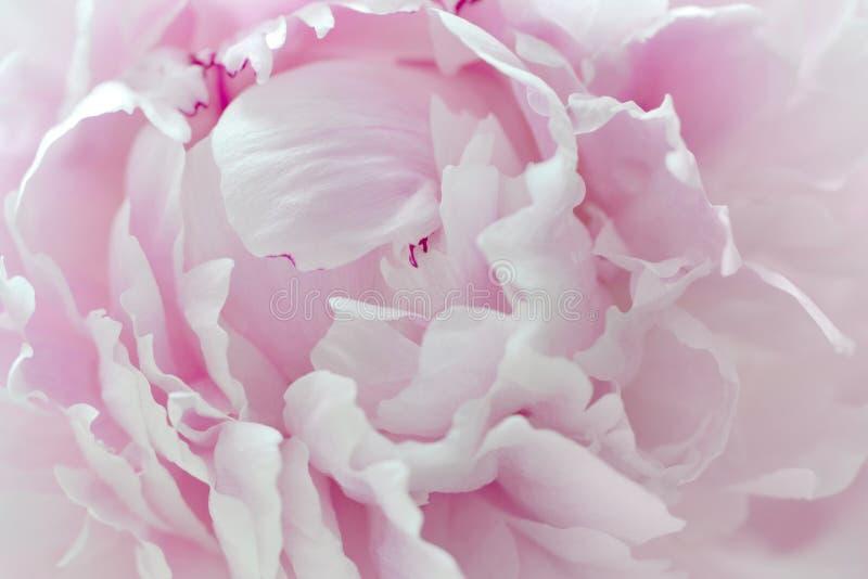 Mooie bloemenachtergrond van roze pioen, close-upfragment stock afbeelding