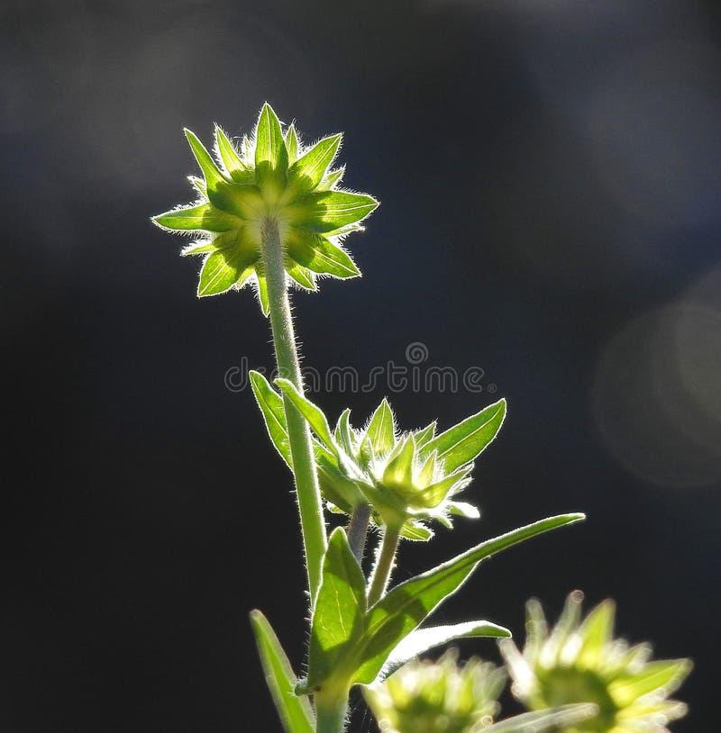 Mooie mooie bloeminstallatie die de bloemblaadjes van de zonlichttuin vangen stock fotografie