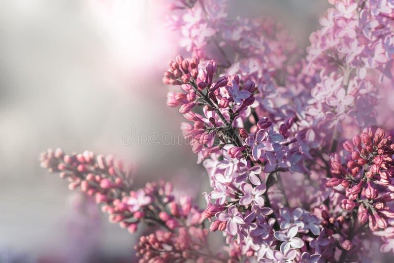 Mooie bloesem lilac bloemen royalty-vrije stock foto