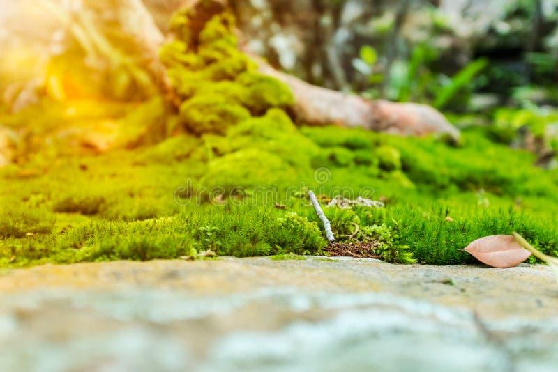 Mooie boom met mosdekking Aard groene houten zonneschijn backg royalty-vrije stock foto's