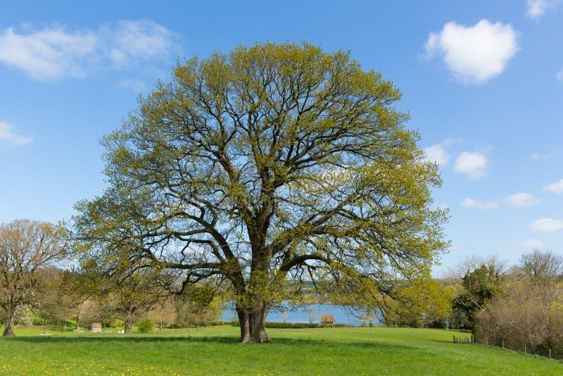 Mooie boom op Engels gebied met blauwe hemel en wolk royalty-vrije stock afbeelding