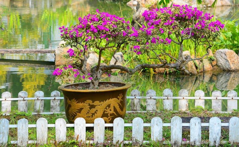 Mooie bougainvilleabonsai royalty-vrije stock afbeelding