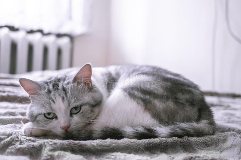 Mooie Britse kat die in bed likken en de camera bekijken royalty-vrije stock foto's