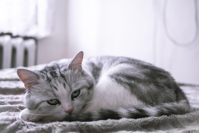 Mooie Britse kat die in bed likken en de camera bekijken royalty-vrije stock afbeelding