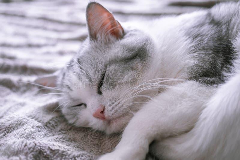 Mooie Britse kattenslaap in omhoog gekruld bed stock fotografie