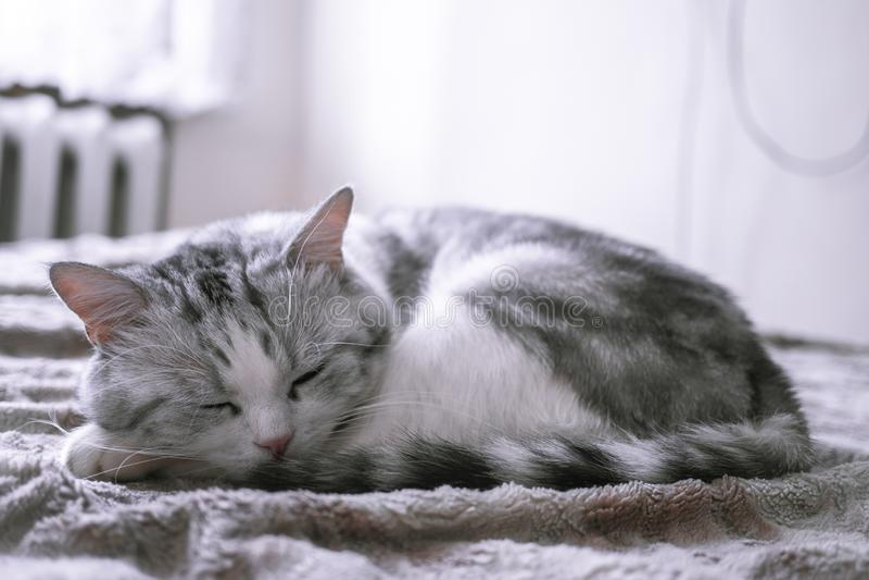 Mooie Britse kattenslaap in omhoog gekruld bed stock afbeeldingen