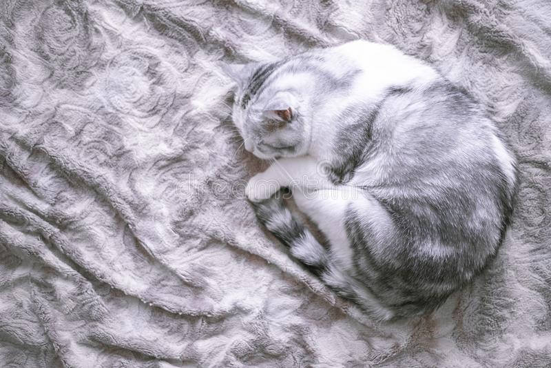 Mooie Britse kattenslaap in omhoog gekruld bed royalty-vrije stock foto's