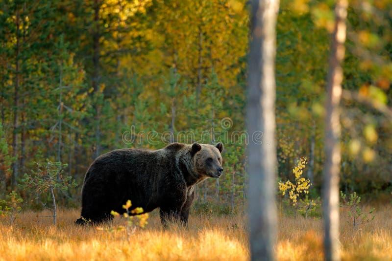 Mooie bruin draagt lopend rond meer met dalingskleuren Draag verborgen in gele bos de Herfstbomen met beer Gevaarlijk dier royalty-vrije stock afbeelding