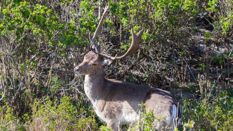 Mooie bruine bevlekte damherten die zich tussen struiken in bos bevinden royalty-vrije stock afbeeldingen