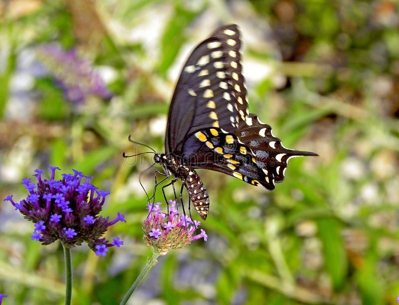 Mooie, bruine bevlekte vlinder op Purple landen, en roze bloemen die in tuin stock fotografie