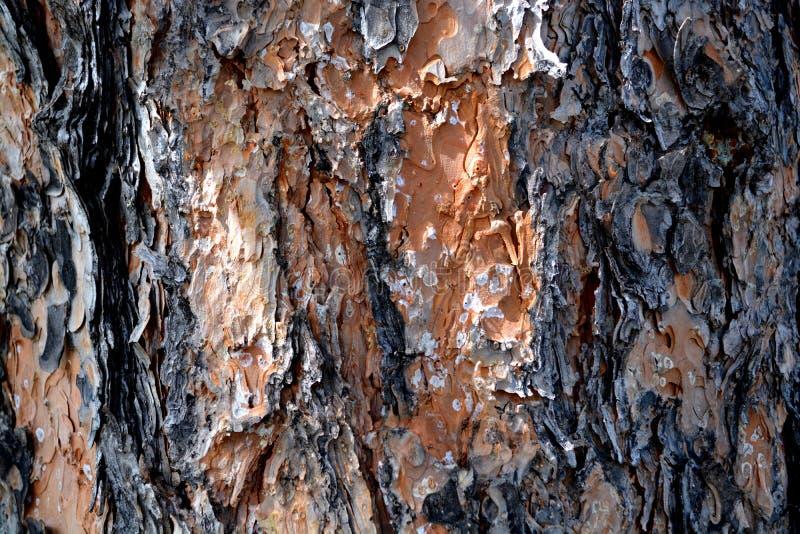 Mooie burkpijnboom stock afbeelding