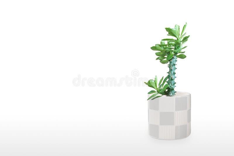 Mooie cactus geïsoleerd op witte achtergrond Op de houten tafel kleurige keramische pot royalty-vrije stock afbeelding