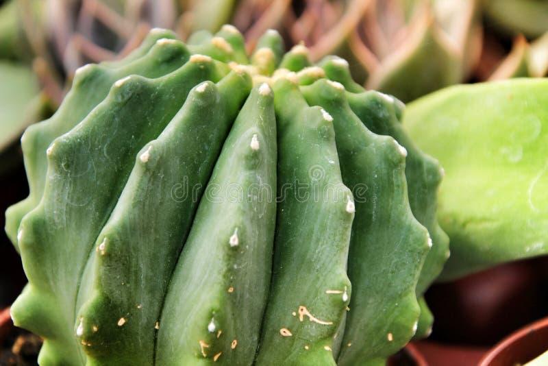 Mooie Cereus cactus in de tuin royalty-vrije stock afbeeldingen