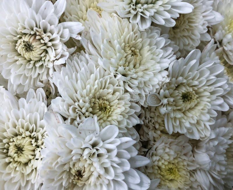 Mooie chrysantenbloem stock afbeelding