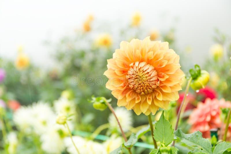 Mooie Chrysantentuin stock afbeeldingen