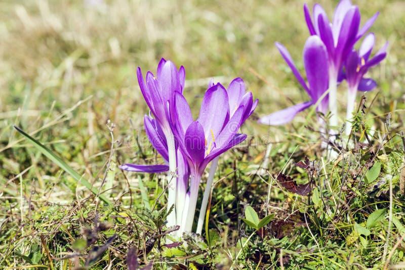 Mooie chrysanthus violette bloemen van de de Lentekrokus stock foto's