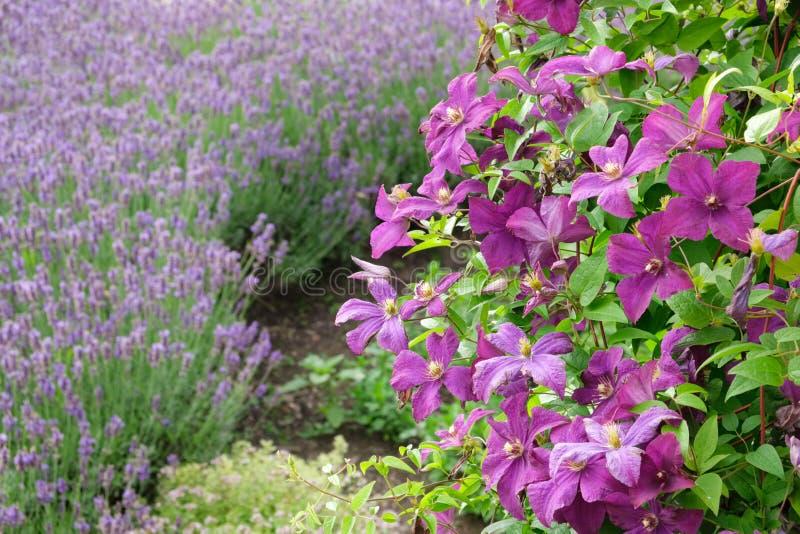Mooie clematissenbloemen in voorgrond en lavendel niet in nadruk royalty-vrije stock fotografie