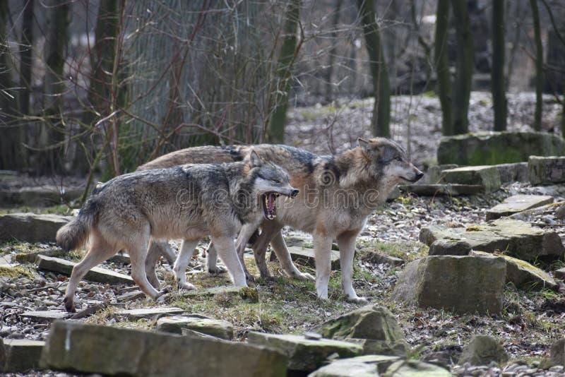 Mooie close-up van twee wilde wolven in een bos in Duitsland stock foto's