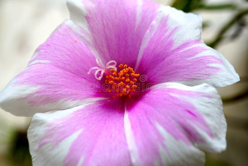 Mooie close-up violette bloem in de tuin stock foto's