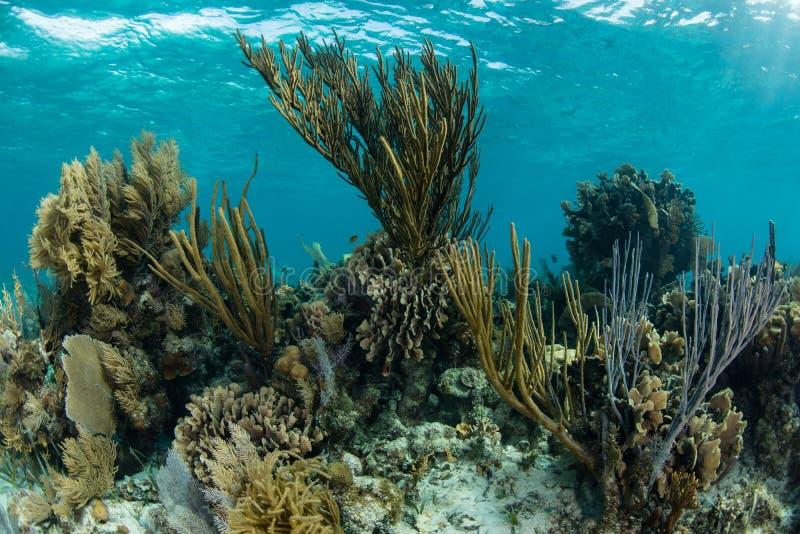 Mooie Coral Reef in Belize stock afbeeldingen