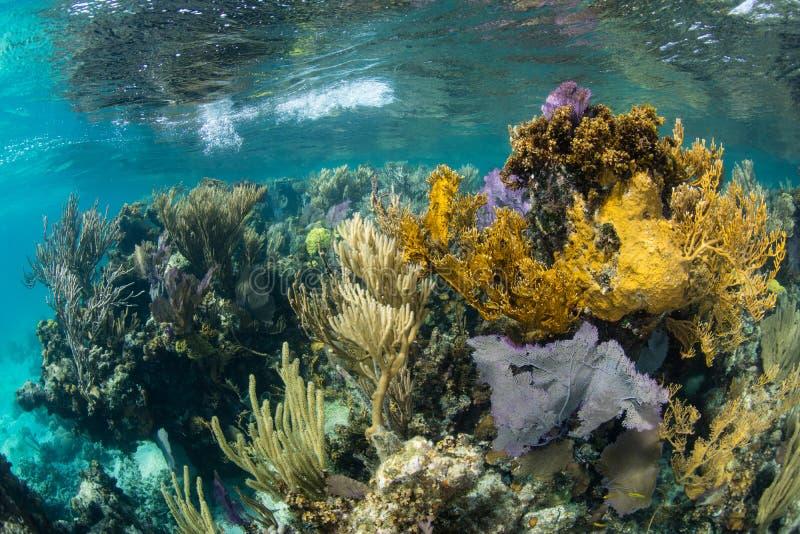 Mooie Coral Reef op Rand van Blauw Gat, Belize stock afbeeldingen