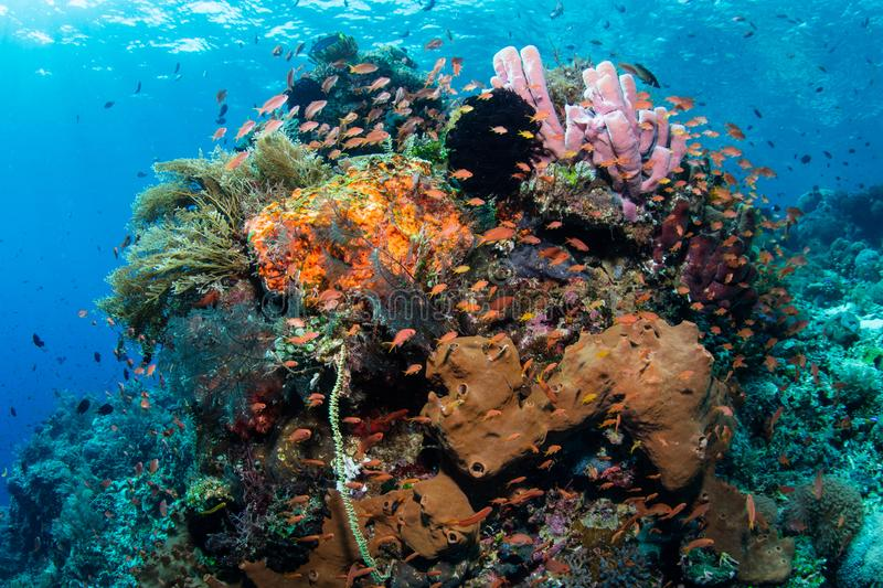 Mooie Coral Reef in Coral Triangle stock afbeelding