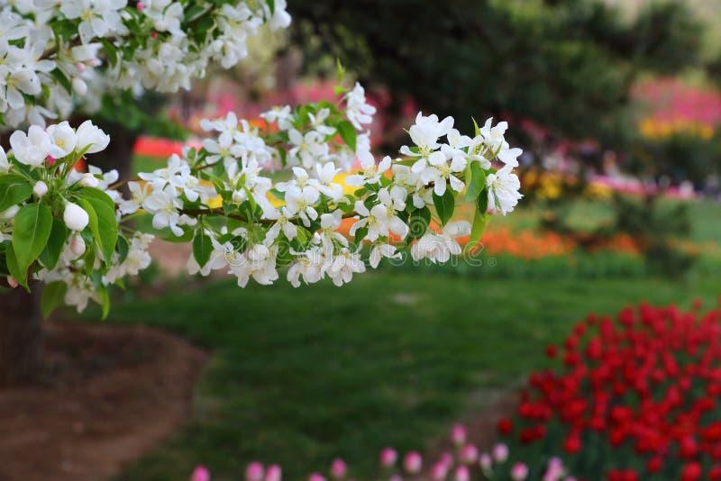 Mooie Crabapple-Bloemen in de Lente royalty-vrije stock fotografie
