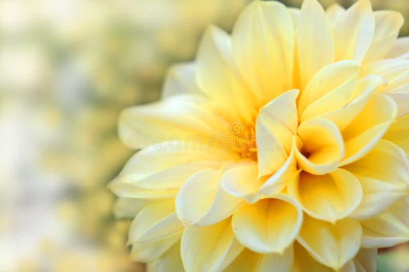 Mooie dahliabloem. Het ontwerp van de bloem stock fotografie