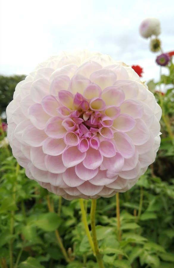 Mooie Dalia bestrooide licht met roze stock afbeeldingen