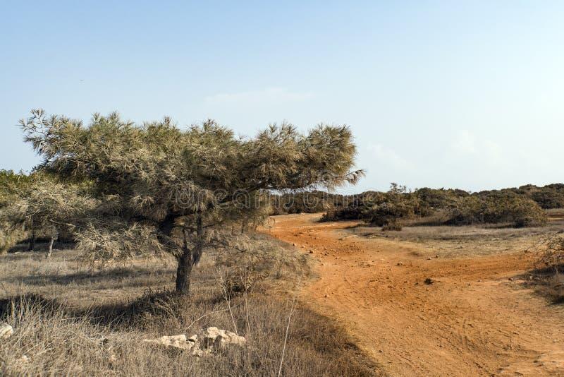 Mooie de aardachtergrond van suumercyprus naaldboom in woestijn types van aard Cyprus stock foto