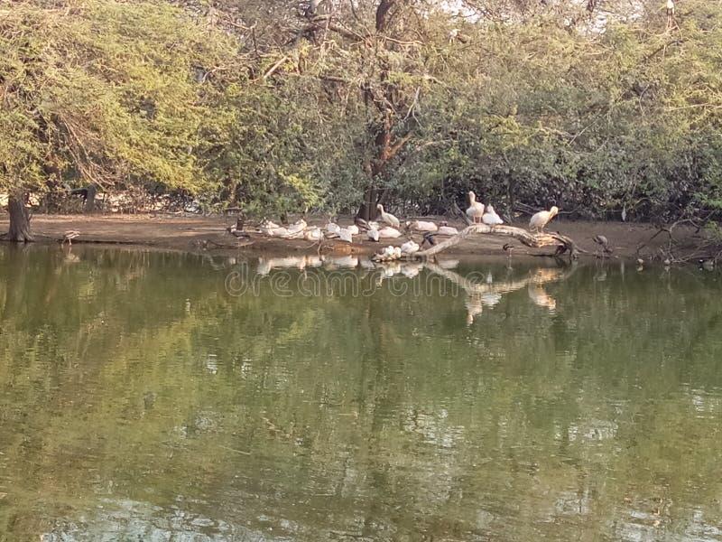 Mooie de dierentuineend van Delhi royalty-vrije stock afbeelding