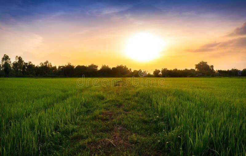 Mooie de hemelzonsondergang van het padiepadieveld n voor aardachtergrond royalty-vrije stock afbeeldingen