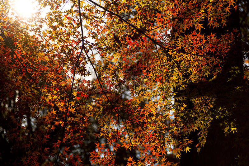 Mooie de herfst leaved bomen stock afbeeldingen
