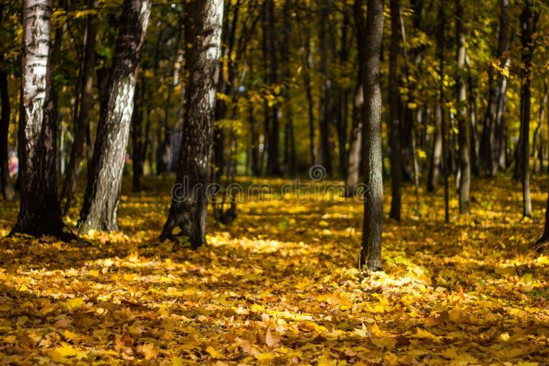 Mooie de herfstbladeren op de bosvloer en vergeelde bomen in een kleurrijk bosje De geeloranje bomen van het de herfstlandschap m royalty-vrije stock fotografie