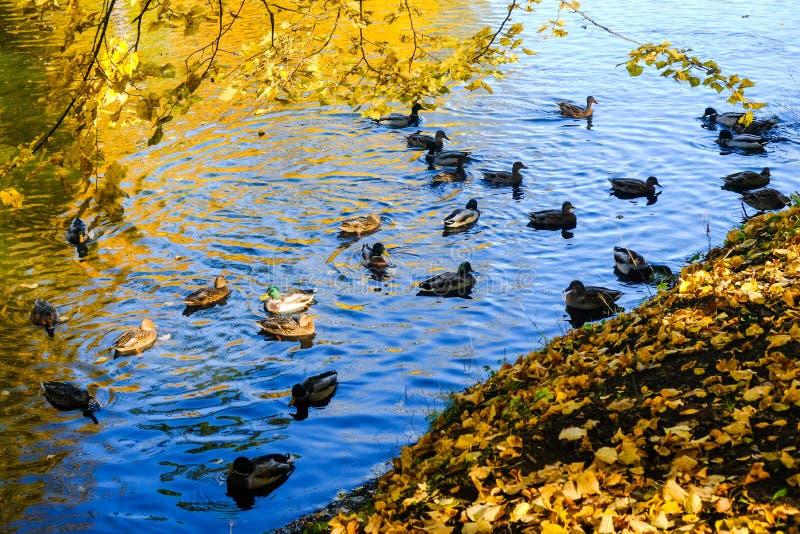 Mooie de herfstvijver met eenden in Pavlovsk park met het blauwe water en de gele bladeren royalty-vrije stock afbeeldingen