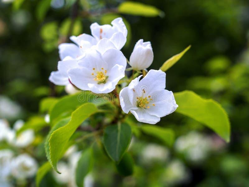Mooie de lente bloeiende boom, zachte witte bloemen royalty-vrije stock foto's