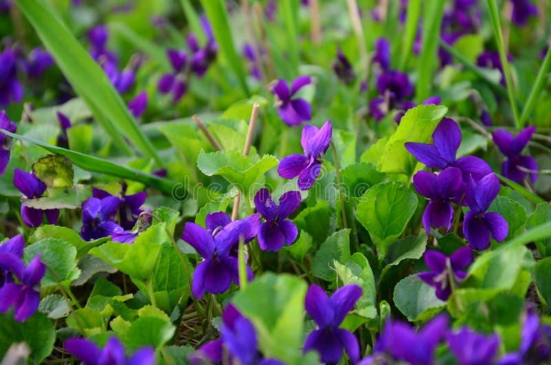 Mooie de lenteachtergrond met violette bloemen stock afbeeldingen