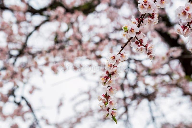 Mooie de lenteachtergrond van Kersenbloesem in volledige bloei stock fotografie