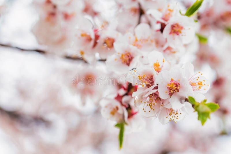 Mooie de lenteachtergrond van Kersenbloesem in volledige bloei stock foto's
